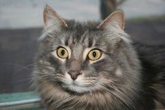 Chockad fluffig katt Arkivbilder