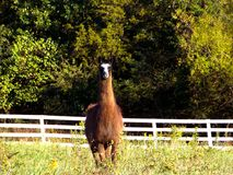 Choco the Majestic Llama!. Choco is are family owned llama who loves to run around and prance in the field Stock Images