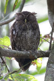 Choco Screech Owl Sleeping on a Perch - Panama Stock Photos