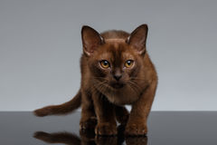 Chocolade Birma Cat Looking in camera op Grijs royalty-vrije stock afbeelding