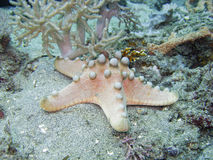 Chocolade Chip Sea Star royalty-vrije stock afbeelding
