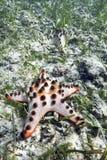 Chocolade Chip Sea Star op oceaanbodem stock afbeeldingen