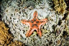 Chocolade Chip Starfish stock fotografie
