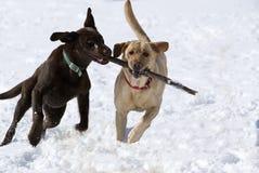 Chocolade en gele Labrador Royalty-vrije Stock Foto