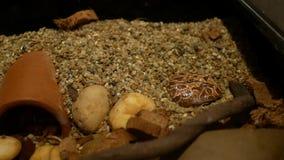 Chocolade gehoornde kikker stock videobeelden