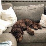 Chocolade labradoodle bruin puppy stock foto's