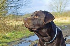 Chocolade Labrador stock afbeeldingen