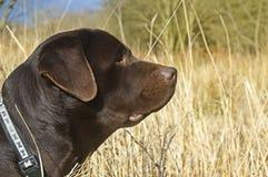 Chocolade Labrador royalty-vrije stock afbeeldingen