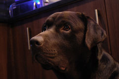 Chocolade Labrador royalty-vrije stock afbeelding