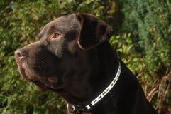 Chocolade Labrador royalty-vrije stock foto