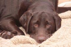 Chocolade Labrador Stock Foto's