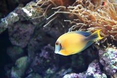 Chocolade surgeonfish Royalty-vrije Stock Afbeeldingen