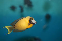 Chocolade surgeonfish (pyroferus Acanthurus) stock fotografie