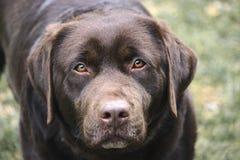 Chocolade Vrouwelijke Labrador Headshot royalty-vrije stock foto