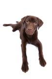 Chocoladebruin Labrador dat omhoog eruit ziet royalty-vrije stock foto's