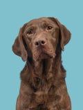Chocoladebruin labrador retriever-portret op een blauwe achtergrond Royalty-vrije Stock Afbeeldingen