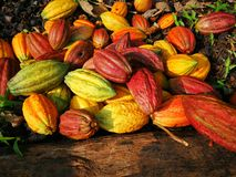 Chocolat, the beginning. A gift of the nature. This picture shows a frut of cocoa waitimg to be opened to collect the seeds and start the process to production Royalty Free Stock Photography