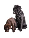 Chocolat and black labrador retriever. Studio Portrait of a brown and a black Labrador retriever   isolated on White Background Royalty Free Stock Photo
