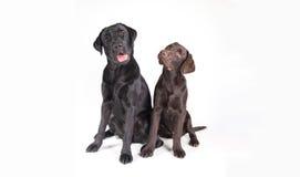 Chocolat and black labrador retriever Royalty Free Stock Photos