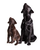 Chocolat and black labrador retriever. Studio Portrait of a brown and a black Labrador retriever looking up isolated on White Background Royalty Free Stock Images