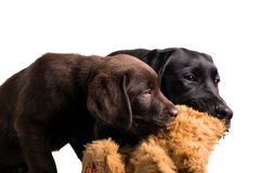 Chocolat and black labrador retriever Royalty Free Stock Photo