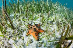 Chocolat Chip Starfish dans le pr? du plancton v?g?tal images libres de droits