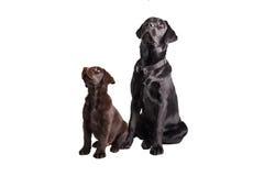 Chocolat en zwart labrador retriever royalty-vrije stock afbeeldingen