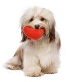 Chocolat Havanese de Valentine d'amoureux Images stock