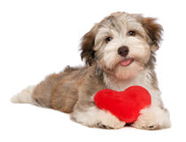 Chocolat Havanese de Valentine d'amoureux photo stock