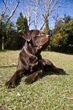 Chocolat Labrador Photographie stock