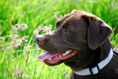 Chocolat Labrador Images libres de droits