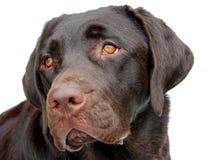 Chocolat Labrador Photos libres de droits