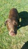 Chocolat Labrador Photo libre de droits
