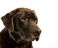 Chocolat Labrador Images stock