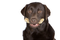 Chocolat Labrador avec l'os de cuir vert Images stock