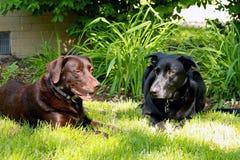 Chocolat Labrador et chien de berger noir s'étendant dans la pelouse d'arrière-cour Image stock