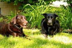 Chocolat Labrador et chien de berger noir s'étendant dans la pelouse d'arrière-cour Images stock