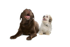 Chocolat Labrador et un tzu de shih Photos libres de droits