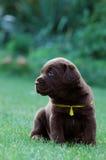 Chocolat labrador retriever. Puppy portrait Stock Photography