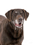 Chocolat labrador retriever Photos stock