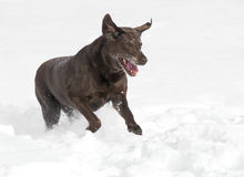 Chocolat labrador retriever Photos stock