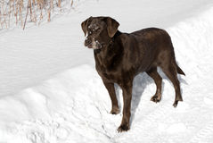 Chocolat labrador retriever Images libres de droits