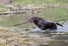 Chocolat labrador retriever Images stock