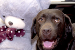 Chocolat labrador retriever avec un ours de nounours Photo stock