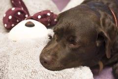 Chocolat labrador retriever avec un ours de nounours Images stock