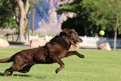 Chocolat labrador retriever jouant au parc Image stock