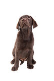 Chocolat labrador retriever puppy Stock Photography