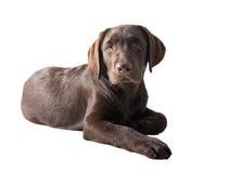 Chocolat labrador retriever puppy Royalty Free Stock Photos