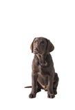 Chocolat Labrador retriever szczeniak Fotografia Stock