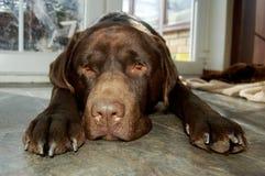 Chocolat triste Labrador Photos libres de droits